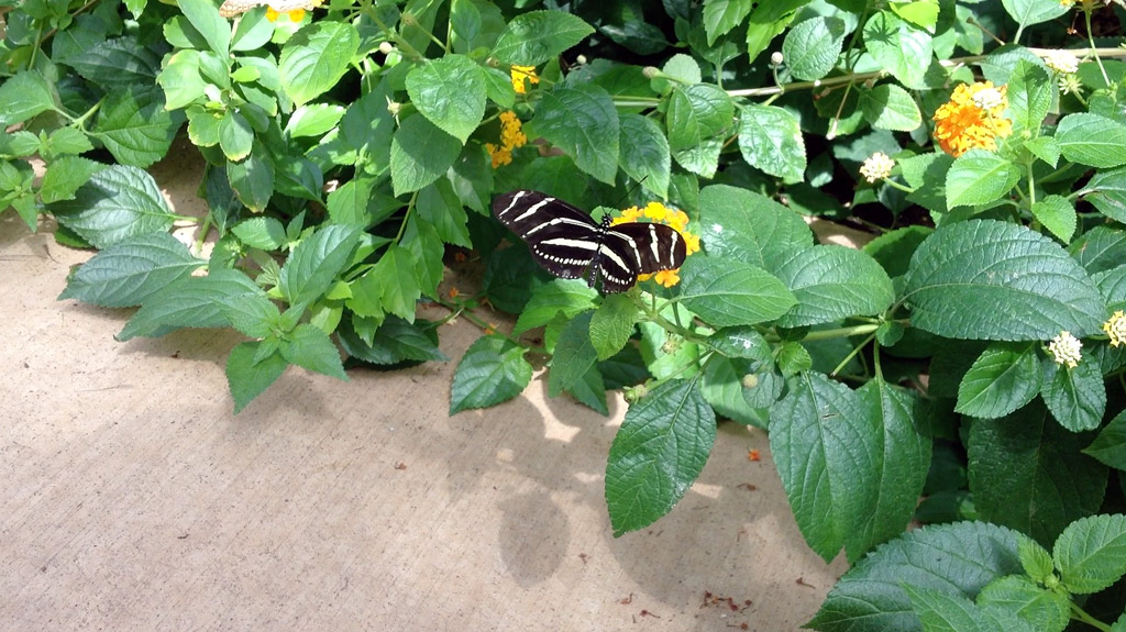 black-white-stripe-butterfly