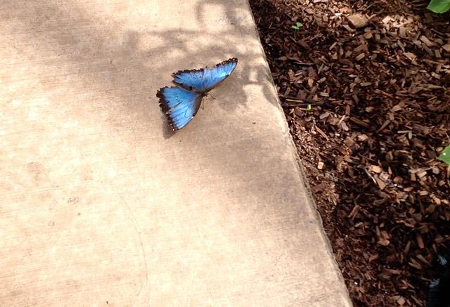blue-butterfly-butterfly-wonderland-scottsdale-az