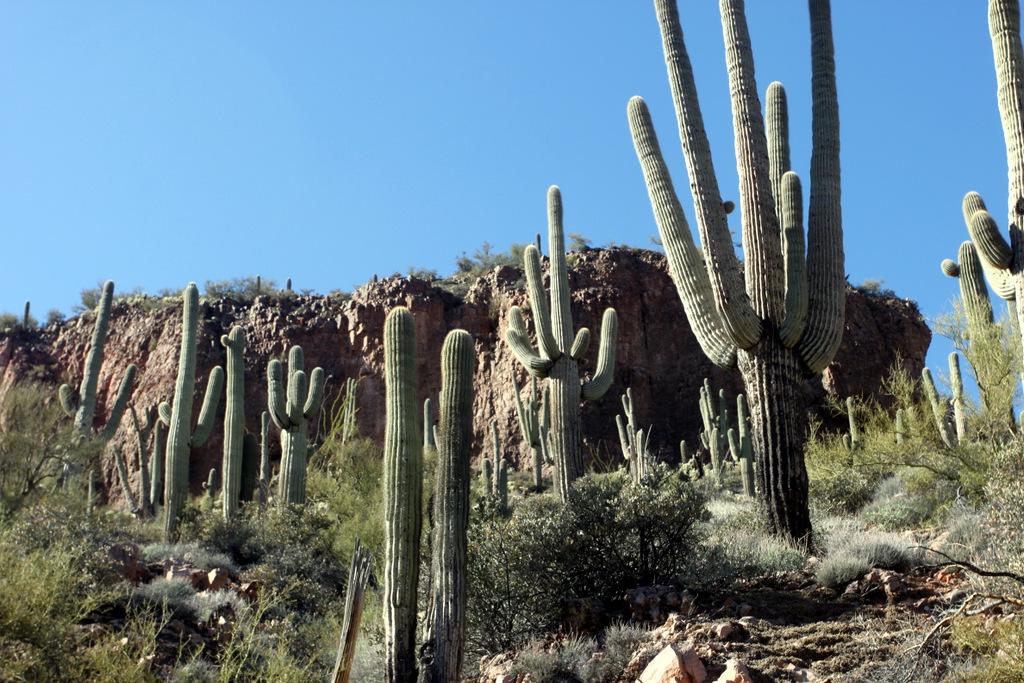 saguaro-cactus-tonto-national-monument