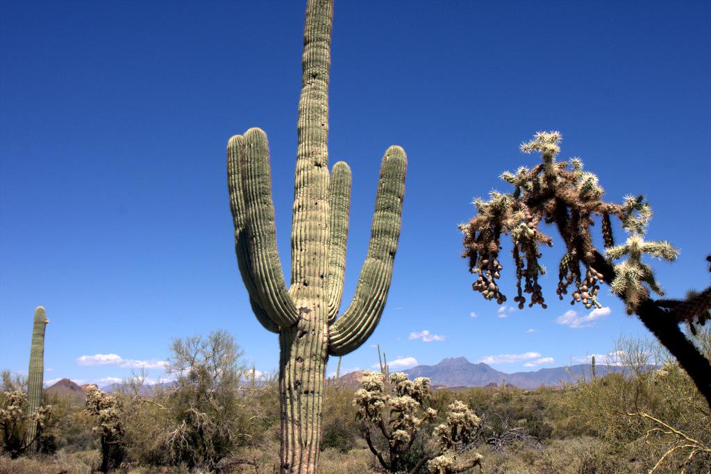 saguaro-cholla