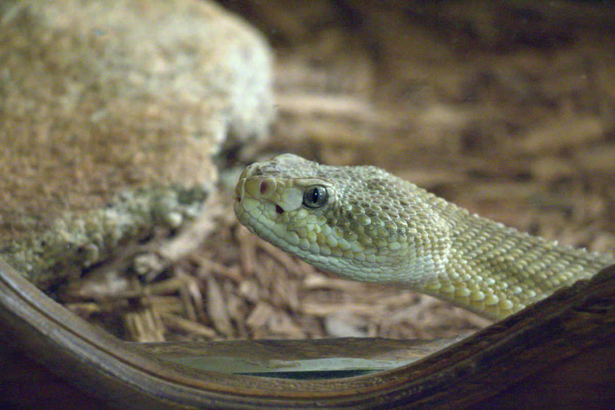 reptile exhibit at goldfield ghost town
